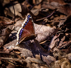 Right Face ! (Portraying Life, LLC) Tags: michigan unitedstates butterfly forest handheld nativecolors closecrop