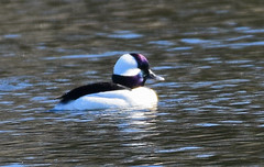 Bufflehead male-1