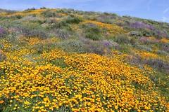 Spring Wildflowers (joeksuey) Tags: spring wildflowers superbloom diamondvalleylake hemet california poppies lupine goldfields phacelia canterburybells redmaids chia babyblueeyes bluedicks wildhyacinth