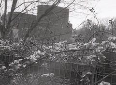 . (OhDark30) Tags: olympus 35rc 35 rc film 35mm monochrome bw blackandwhite bwfp fomapan 200 rodinal city urban spring weeds bramble blossom wasteland