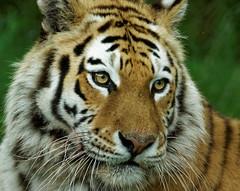 Amur Tiger, Longleat Safari Park (jim_2wilson) Tags: longleatsafaripark amurtiger tiger bigcat sonya77 sony70400mmssmii jimwilson