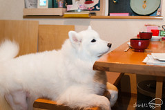 left  hospital.jpg (Shin½) Tags: 2017 nikon d300s samoyed lightroom6 dog maria japan 30mmf14