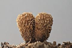 Birds Nest fungi, Cyathus striatus, Hamilton Gardens NZ (2 of 4) (brian nz) Tags: hamilton waikato newzealand nz birds nest fungi cyathus striatus mushroom wood mulch gardens spore eggs