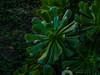 DSCF0913.jpg (José Luis Marrero Medina) Tags: laspalmasdegrancanaria vegetación amanecer planta spain miradordemonteluz verol naturaleza laspalmas sunrise verode flor grancanaria canaryislands españa islascanarias