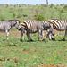 Plains Zebras (Equus quagga burchellii)