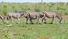 Plains Zebras (Equus quagga burchellii) (berniedup) Tags: plainszebra equusquaggaburchellii zebra taxonomy:binomial=equusquaggaburchellii taxonomy:binomial=equusquagga equusquagga lowersabie kruger