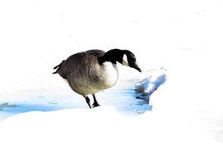 Outarde / Bernache du Canada / Branta canadensis / Canada Goose / IMG_1136_lzn