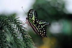 Papillons en Liberté 2017 - Photo 18 (Le Chibouki frustré) Tags: nikon nikond700 d700 700 fx fullframe montréal montreal homa hochelagamaisonneuve macro macrophotographie botanicalgarden jardinbotanique jardinbotaniquedemontréal montrealbotanicalgarden butterfly insect insects bokeh dof pdc papillonsenliberté2017 butterfliesgofree2017 closeuplens closeupfilter