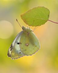 Goldene Acht (rudolfaurnhammer) Tags: natur tiere insekten falter schmetterlinge tagfalter weiskleegelbling makro