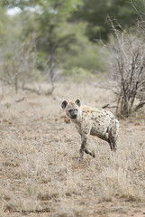 Spotted Hyena (lianaknightspencer) Tags: specanimal hyena africa