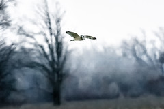 Low Flying Object (Portraying Life, LLC) Tags: michigan unitedstates bird inflight wild dusk owl handheld nativelighting