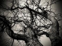 Dancing or Fighting? (Dave Linscheid) Tags: tree walnuttree blackandwhite mn minnesota toolwizphotoeditor butterfield watonwancounty