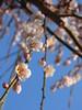 満開の枝垂梅 (nofrills) Tags: flora plant plants floral flower flowers plum plums plumblossom weepingplum ウメ 枝垂れ梅 tree urbantree 枝垂梅 spring