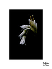 Wild Garlic (silver/halide) Tags: wildflowers wild garlic garden hedgerow hedges countryside wildgarlic johnbaker lowkey drops dewdrops waterdrops