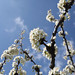 Blossoming Trees  (3)
