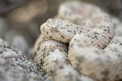 Speckled Rattlesnake (DevinBergquist) Tags: speckledrattlesnake rattlesnake crotaluspyrrhus crotalus crotalusmitchellii white herping fieldherping insitu snake viboradecascabel cascabel wildlife nature az arizona