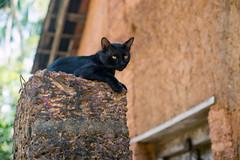 (kuuan) Tags: manualfocus mf ltm m39 canon rangefinder f14 50mm 1450 f1450mm canonltmf1450mm ilce7 a7 sony alphaa7 karnataka india colorful cat blackcat