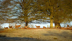 P1130856-Pano (benjamindriver) Tags: red deer powys castle wales wildlife nature panorama morning light