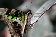 Papillons en Liberté 2017 - Photo 42 (Le Chibouki frustré) Tags: nikon nikond700 d700 700 fx fullframe montréal montreal homa hochelagamaisonneuve macro macrophotographie botanicalgarden jardinbotanique jardinbotaniquedemontréal montrealbotanicalgarden butterfly insect insects bokeh dof pdc papillonsenliberté2017 butterfliesgofree2017 closeuplens closeupfilter