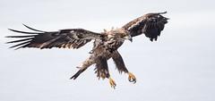 IMG_6244 Bald Eagle (Wallace River) Tags: aboiteau baldeagle bito icefishing wallacebay