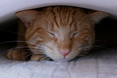 I don´t see you (nelescholten) Tags: cat toffi closeup bed hiding kitten relaxing