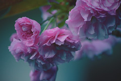 Fragile beauty (Giulia Gasparoni) Tags: fragile beauty beautiful awesome amazing macro plants flower flowers nature pink pastel pale indie vintage retro girly dreamy dream soft softness photography