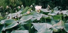 05-image008 (hemingwayfoto) Tags: blühen blüte blume frankreich lotosblume
