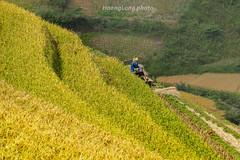_MG_9974.1011.La Pán Tẩn.Mù Cang Chải.Yên Bái. (hoanglongphoto) Tags: asia asian vietnam northvietnam northwestvietnam outdoor landscape scenery vietnamlandscape vietnamscenery vietnamscene landscapewithpeople terraces terracedfields terracedfieldsinvietnam hill hillside harvest canon canoneos5dmarkii tâybắc yênbái mùcangchải lapántẩn phongcảnh ruộngbậcthang ruộngbậcthangmùcangchải lúachín mùagặt mùagặtmùcangchải mùcangchảimùalúachín phongcảnhcóngười ngọnđồi sườnđồi canonef70200mmf28lisiiusmlens