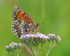 Scheckenfalter (rudolfaurnhammer) Tags: natur tiere insekten falter schmetterlinge tagfalter scheckenfalter wachtelweizenscheckenfalter makro