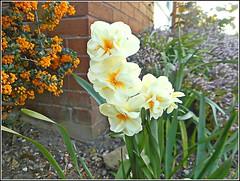 Springtime Flowers .. (** Janets Photos **Feeling a bit Better) Tags: uk springtime jonquil flowers plants flora shrubs