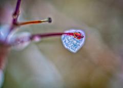 From nature with love (Sean X. Liu) Tags: macro closeup nature ice macromondays glaze toronto markham ontario canada