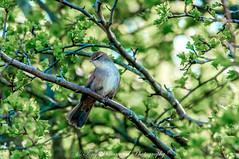 Cetti's Warbler (cettia cetti) (phat5toe) Tags: cettiswarbler cettiacetti birds avian feathers wildlife nature wigan greenheart flashes nikon d300 tamron150600mm
