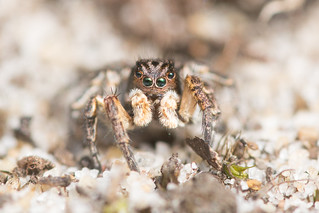 Jumping spider - Aelurillus v-insignitus (male)
