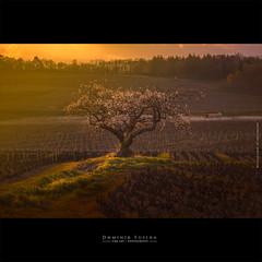Flower power in Beaujolais {EXPLORE} (dominikfoto) Tags: beaujolais spring printemps cerisier cherry vignes vines france fusina fusinadominik sunset coucherdususoleil odenas brouilly