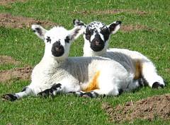 Here is the wether forecast (Richard Laidler) Tags: lambs newborn sunshine lyingdown