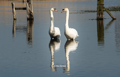 In Love With white Swan (Noi Dennis-Photography) Tags: rspb white swans