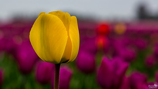 One deviating yellow, among the many purple