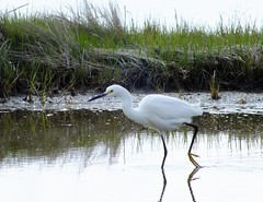 Egret on the Move (golforchid) Tags: river island wildlife national egret parker snowyegret egrettathula refugeplum