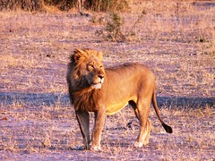 Lion at Sunset - Kruger National Park, South Africa (Violator1) Tags: africa park travel sunset wild sun color nature animal cat big colorful african south explorer lion safari explore lone grassland safaripark kruger