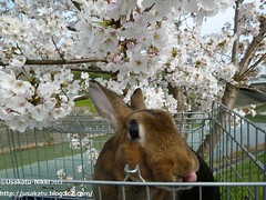 P1060844 () Tags: rabbit bunny usagi  minirex