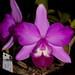 Laeliocattleya Cariad's Mini-Quinee 'SVO II' – Craig Johnson