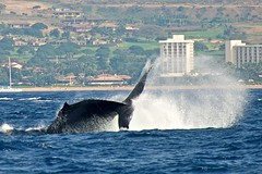 whale (photobugjb) Tags: holiday hawaii maui