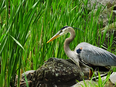 Patience of the fisher (perfectday_s) Tags: bird fisher pcheur oiseau greatblueheron gbh grandhronbleu