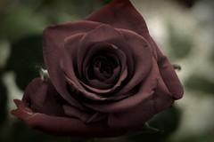 Rose for my mother . (jakub2106) Tags: red rose flakes motherday czerwony róża płatki dzieńmamy