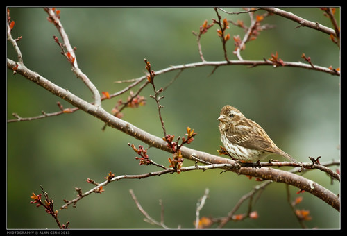 Female Purple Finch and Buds of May
