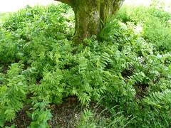 20130528_BlarneyCastle_PterocaryaFraxinifolia_Cutler_P1470741 (wlcutler) Tags: ireland gardens blarneycastle wingnut juglandaceae pterocarya caucasianwingnut fraxinifolia