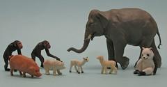 Plastic animals 230613 (Chris*4) Tags: elephant zoo pig panda farm indian lamb chimpanzee giantpanda barratt britains