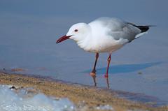 So curious (Jokermanssx) Tags: pond gull gabbiani cagliari stagno sgilla quartuse floraefaunadellasardegna riccardodeiana