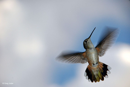 Photo - Female Broad-tailed Hummingbird.
