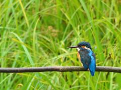 kingfisher on look out!! (Wildlife Boy1) Tags: bird brandon kingfisher marsh tamron 70300 nikond3200